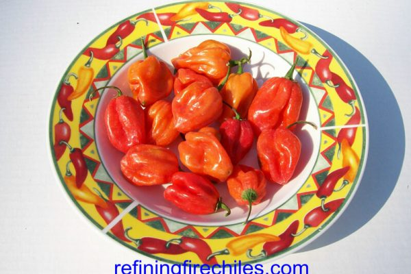 Antillais Red Caribbean Habanero 10
