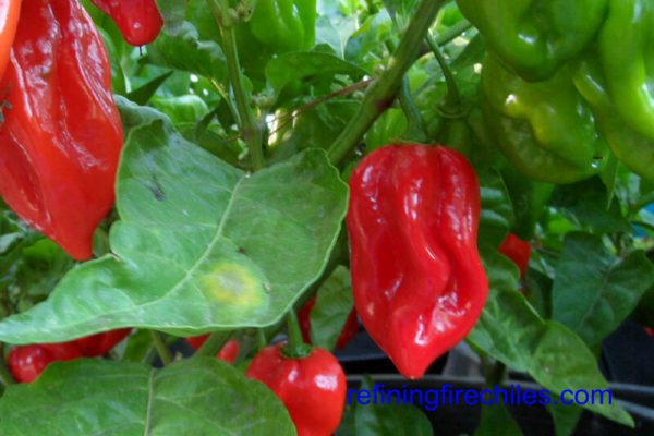 Antillais Red Caribbean Habanero 15