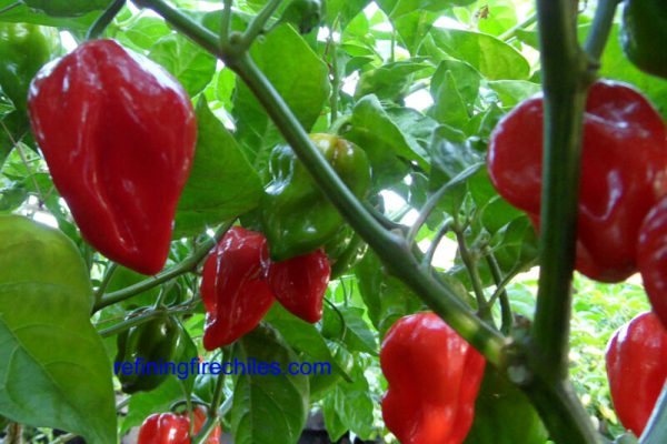 Antillais Red Caribbean Habanero 16