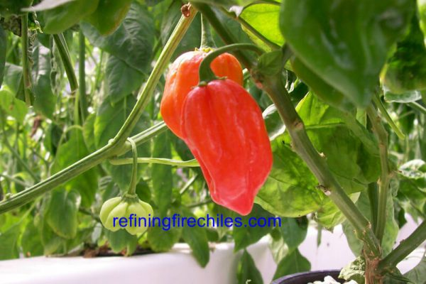 Antillais Red Caribbean Habanero 8