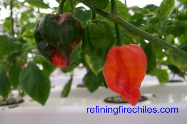 Antillais Red Caribbean Habanero 9