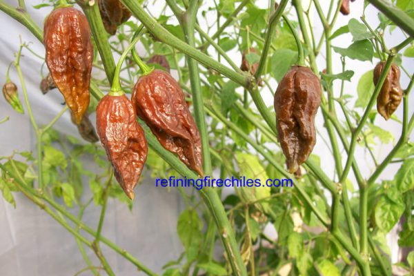 Chocolate Bhut Jolokia 10