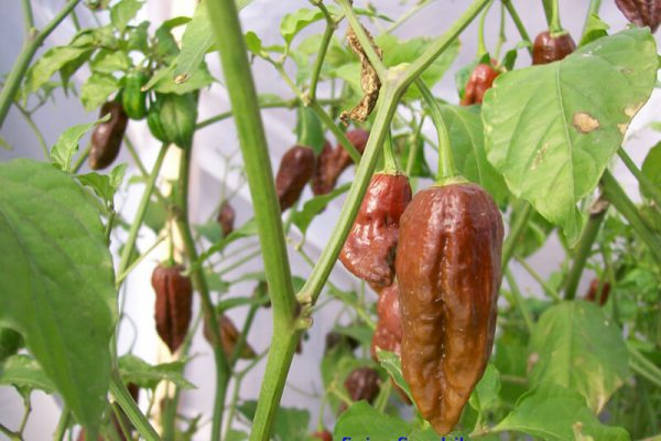 Chocolate Bhut Jolokia 13