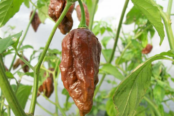 Chocolate Bhut Jolokia 18