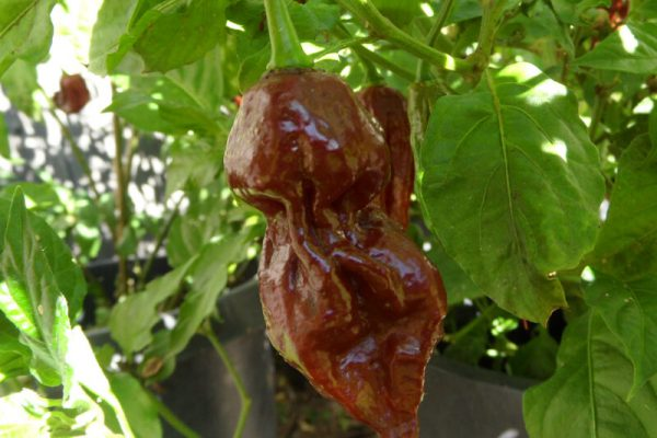 Chocolate Bhut Jolokia 19