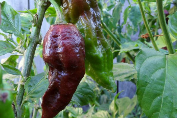 Chocolate Bhut Jolokia 23