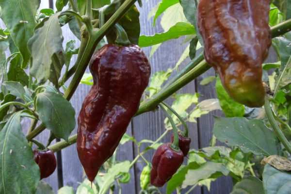 Chocolate Bhut Jolokia 24