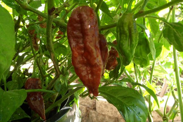 Chocolate Bhut Jolokia 26