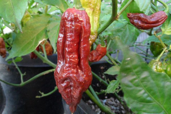 Chocolate Bhut Jolokia 28