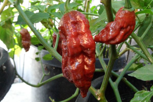 Chocolate Bhut Jolokia 29