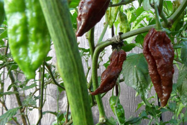 Chocolate Bhut Jolokia 31