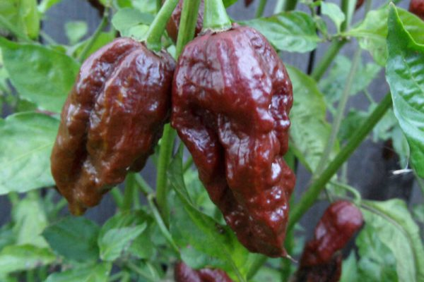 Chocolate Bhut Jolokia 33