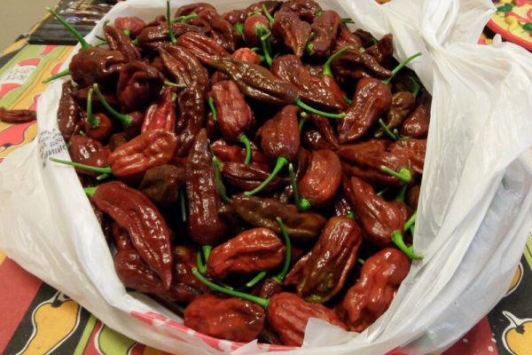 Chocolate Bhut Jolokia 34