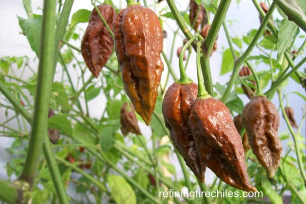 Chocolate Bhut Jolokia 6