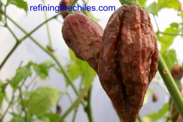 Chocolate Bhut Jolokia 7