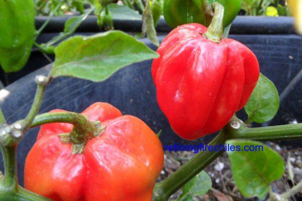 Congo Red Trinidad 15