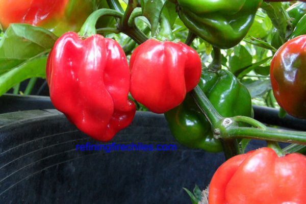 Congo Red Trinidad 6