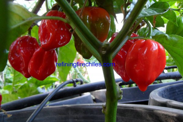 Congo Red Trinidad 8