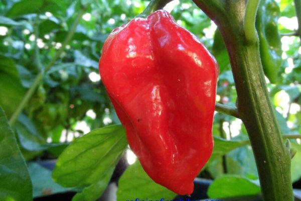 Fatalii Red 16