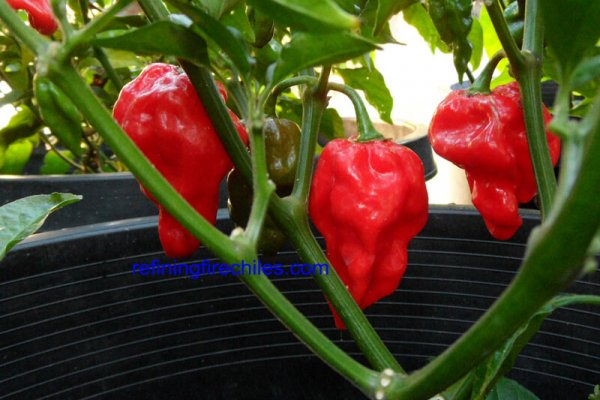Fatalii Red 21