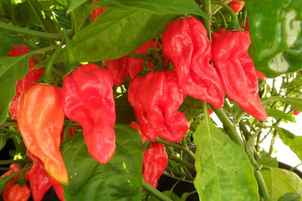 Fatalii Red 22