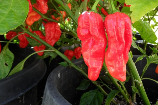 Fatalii Red 23