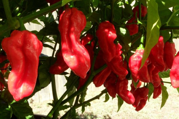 Fatalii Red 25