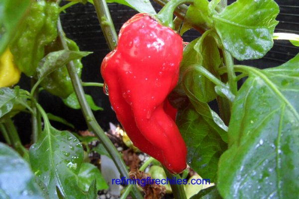 Fatalii Red 4