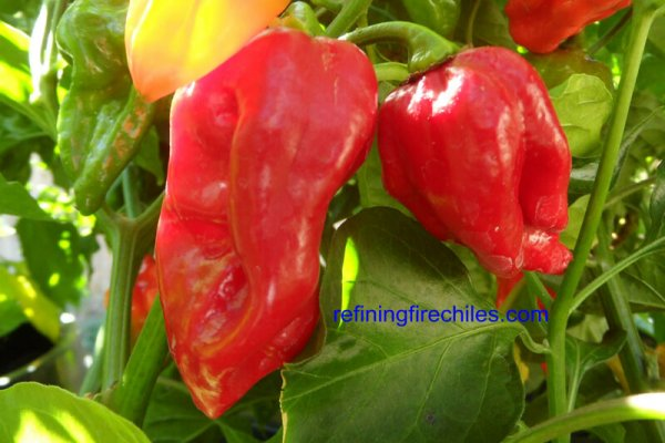 Fatalii Red 8