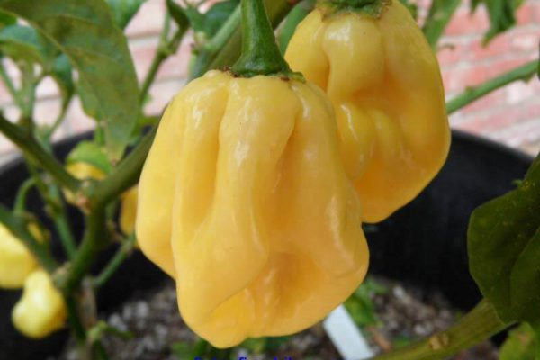 Giant White Habanero 15