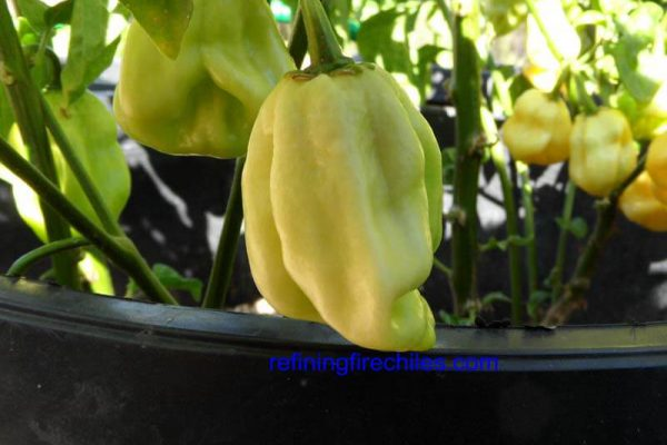 Giant White Habanero 2