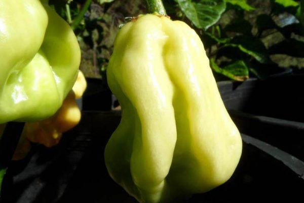 Giant White Habanero 4