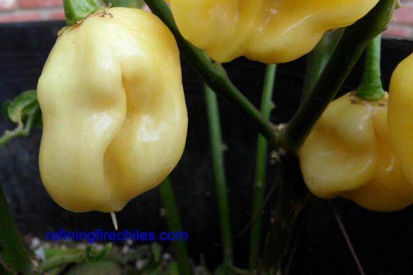 Giant White Habanero 7