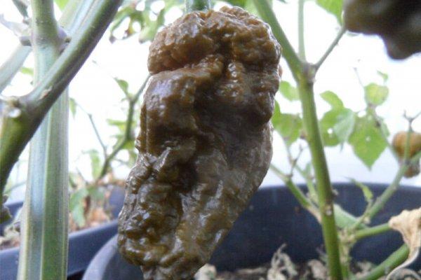 Mustard Bhut 8
