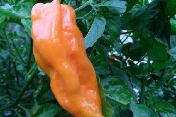 Naranja Habanero 13