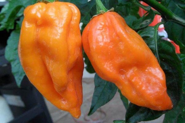 Naranja Habanero 3