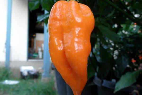 Naranja Habanero 7