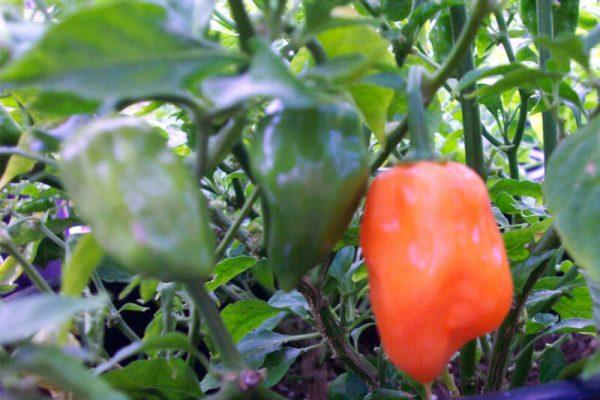 Orange Habanero 3