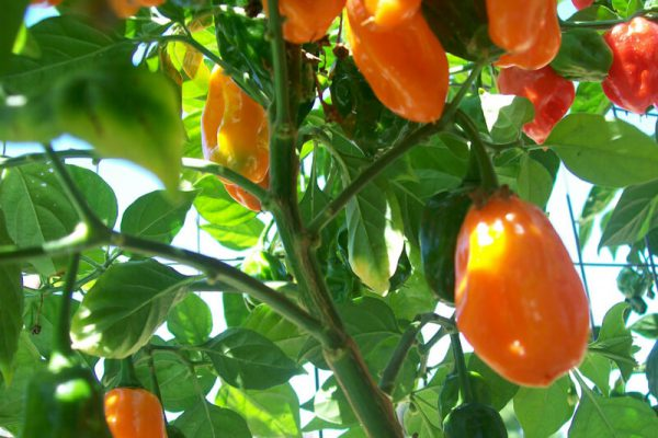 Orange Habanero 5