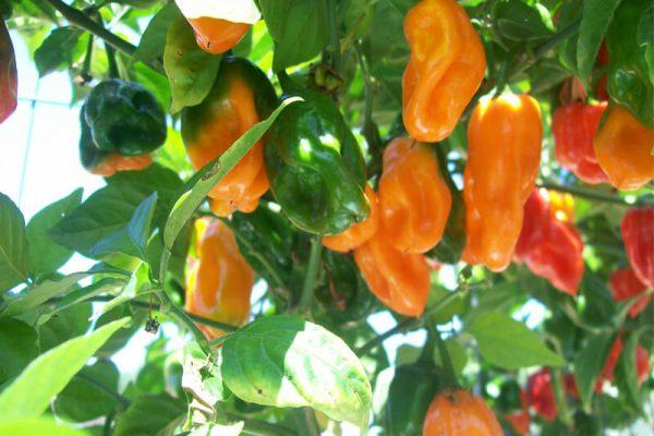 Orange Habanero 6
