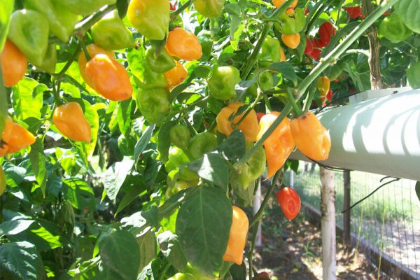 Orange Habanero 7