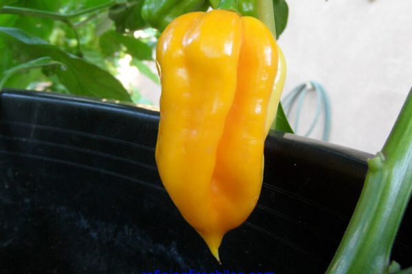 Orange Trinidad Scorpion 6