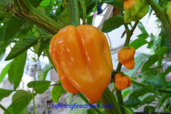 Roatan Pumpkin Habanero 1