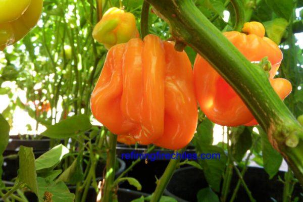 Roatan Pumpkin Habanero 2
