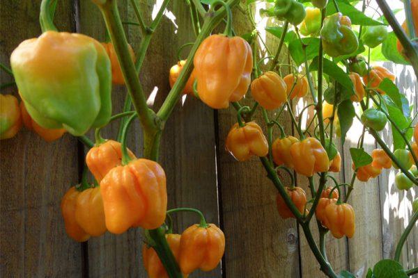 Roatan Pumpkin Habanero 21