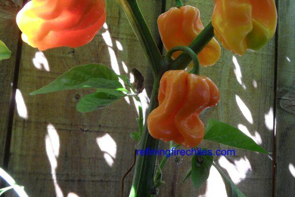 Roatan Pumpkin Habanero 5