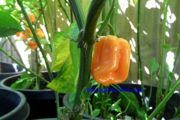 Roatan Pumpkin Habanero 6