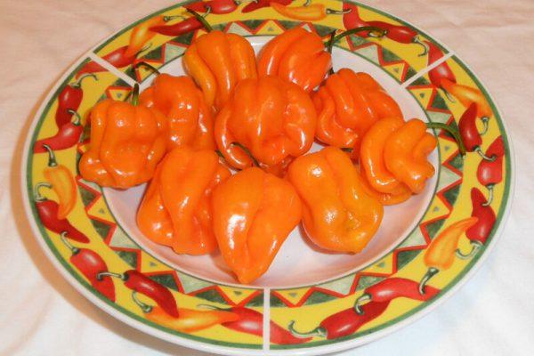 Roatan Pumpkin Habanero 8