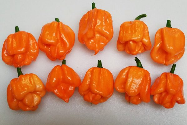 Scotch Bonnet Freeport Orange
