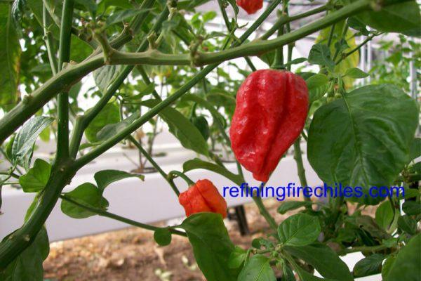 Trinidad 7 Pot 32